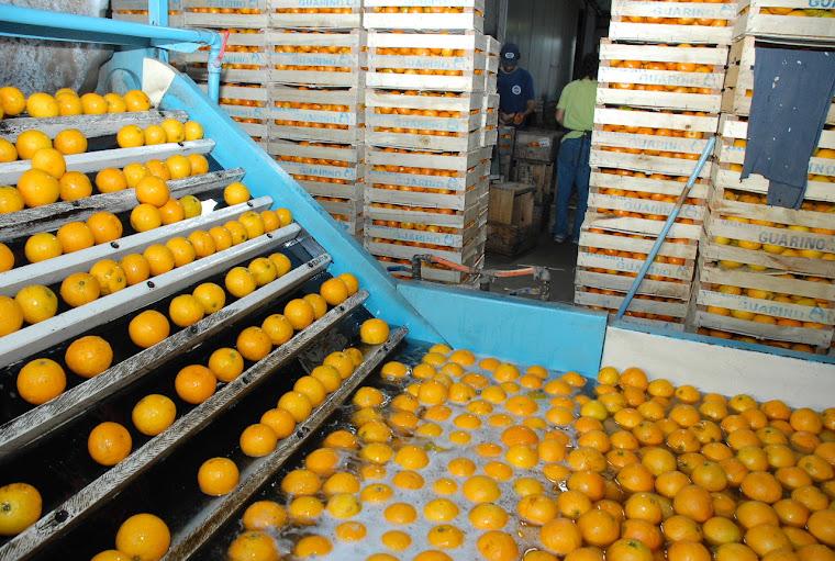 Trabajadores de la naranja, una zafra segura...