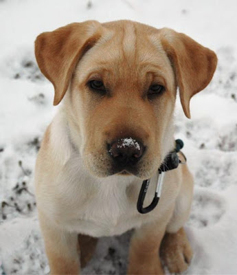 This is a shar pei lab mix,