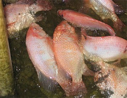 Cultivo de tilapia for Crianza de tilapia en estanques