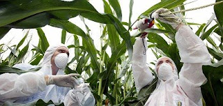 germany bans cultivation of gm corn