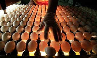 fda uses massive egg recall to push for egg pasteurization