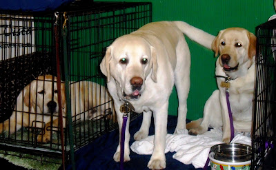 Three yellow labs at the dog show.  Two are in laying down in crates and one is standing outside of the crate. These are some BIG labs!
