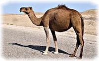 Верблюд, Туркменистан