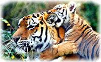 Тигр, куб