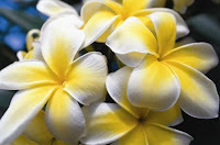 Plumeria