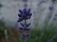 Lavender in Alaska