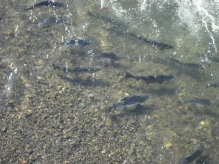 Salmon in Ship Creek Anchorage, Alaska