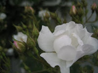 Polar Rose
