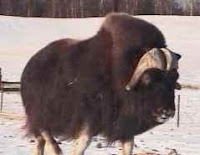 Musk Ox in Alaska
