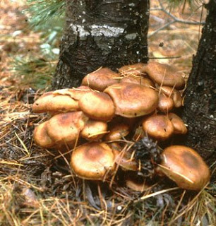 World's Largest Organism, The Honey Mushroom