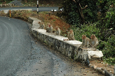 Monkeys in Bangalore, India
