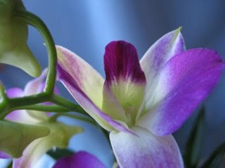 How to Grow Orchids-Dendrobium