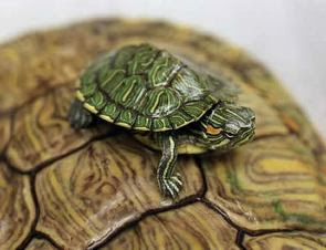 ... Horse Reptile And more Pet Care: Turtle - Types of Pet Turtles
