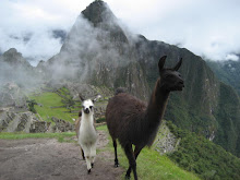 A Couple of Camelids we met At Macchu Picchu