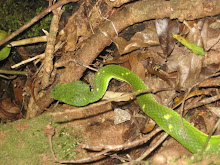 Side Striped Pit Palm Viper