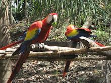 Manic Macaws