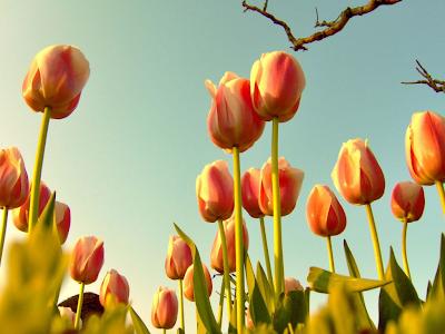 tulip wallpaper. Tulip Wallpaper