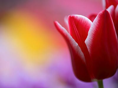 tulip wallpaper. Red Tulip Wallpaper