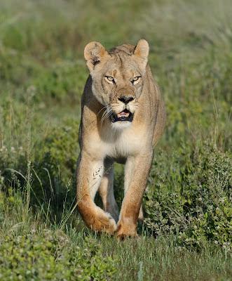c4 images and safaris, private photo safari, central kalahari,