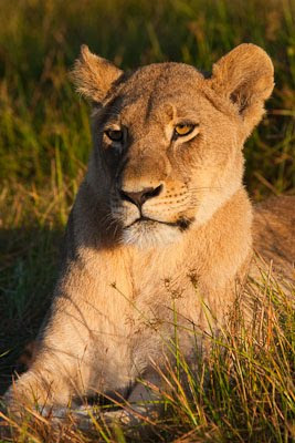 c4 images and safaris, chiefs island, isak pretorius, safari