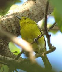cibuluh blog's: burung cipeuw/sirtu/cipoh kacat
