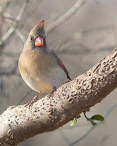 Northern Cardinal (Female), San Angelo State Park, ©2008 Jim Miller