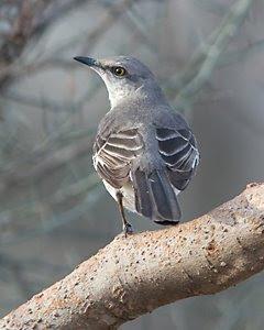 Northern Mockingbird, San Angelo State Park, ©2009 Jim Miller