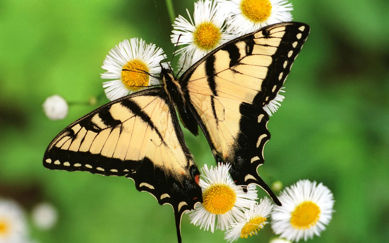 Tiger Swallowtail Butterfly free desktop backgrounds and  - tiger swallowtail butterfly wallpapers