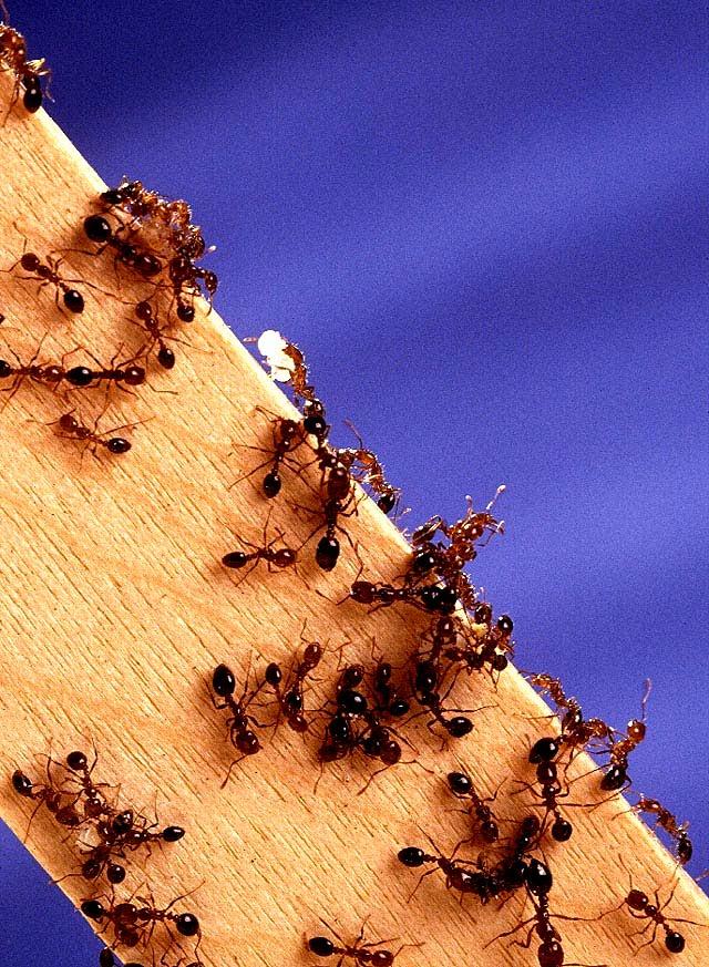 [蟻 3Fire_ants.jpg]