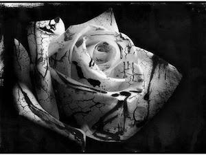 Pics of Black Roses