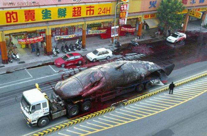 japon y la matanza de ballenas  ¿Seguirán?