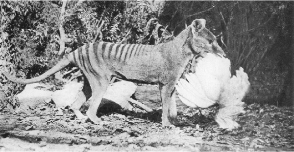 Centre for Fortean Zoology Australia: Thylacine extinction ...