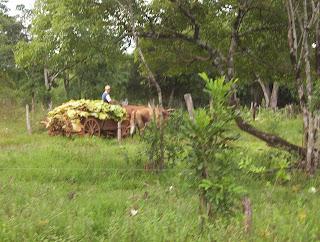 buey cargando kilos y kilos de tabaco por el monte misionero