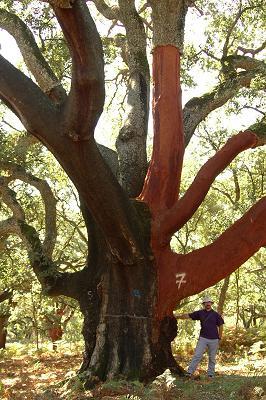 Sobreiro - Quercus suber L.
