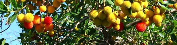 """Frutos do """"Arbutus unedo"""", nectar da aguardente de medronho"""
