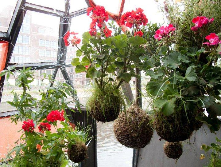 Geranio o pelargonio pelargonium spp blossom zine blog - Geranio odoroso ...