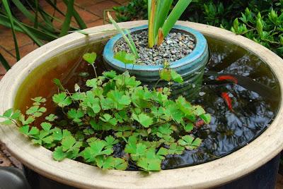 Garden Amateur Potting Up A Water Garden