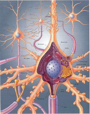 | tejido Nervioso |