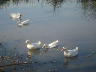 [ducks]