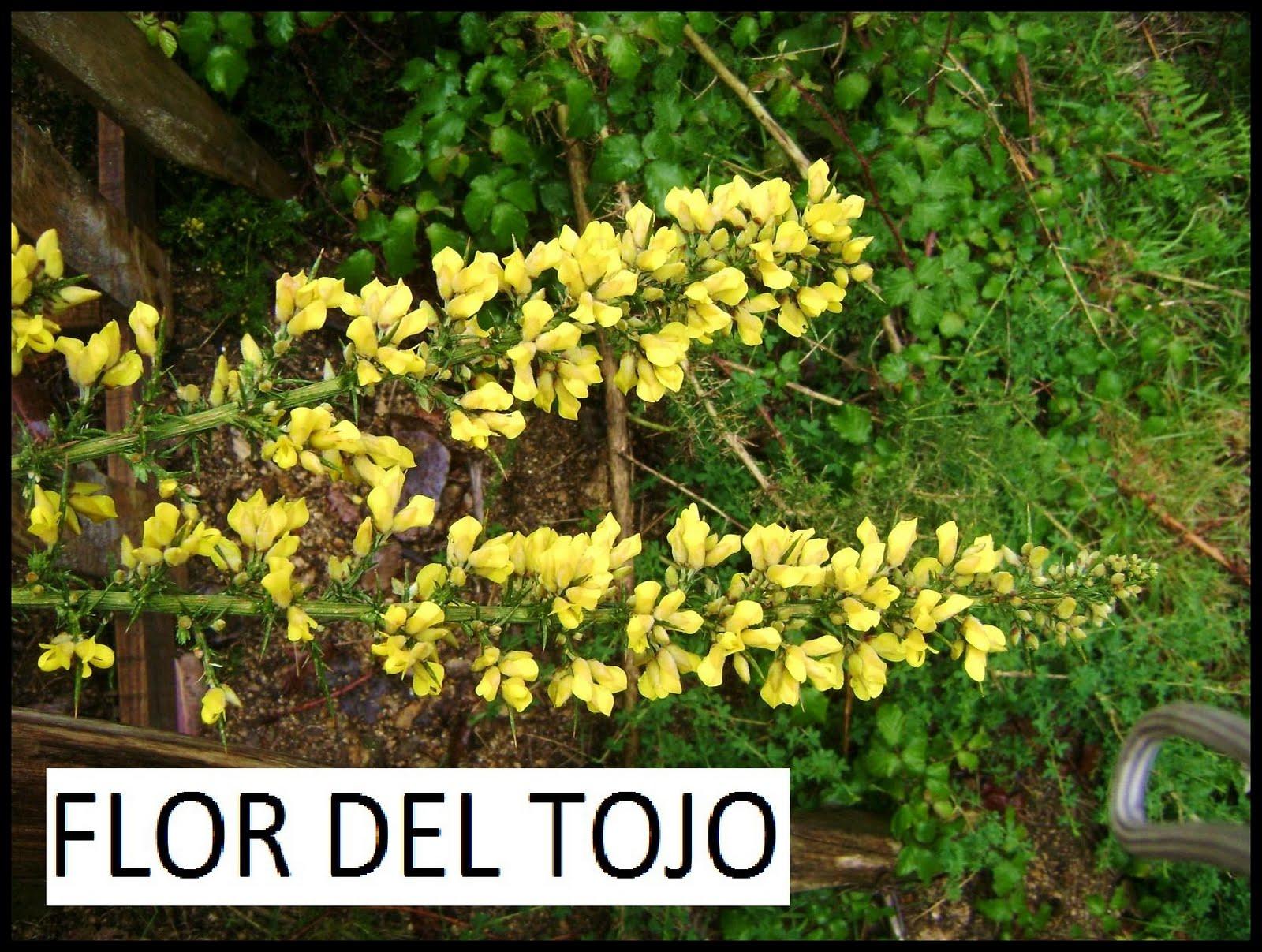 sus flores son de color amarillo dorado alrededor de cm de longitud sobre cortos pednculos bilabiados y vellosos las flores aparecen