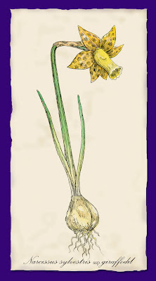 Narcissus sylvestris ssp. giraffodil - Ingrid Sylvestre UK
