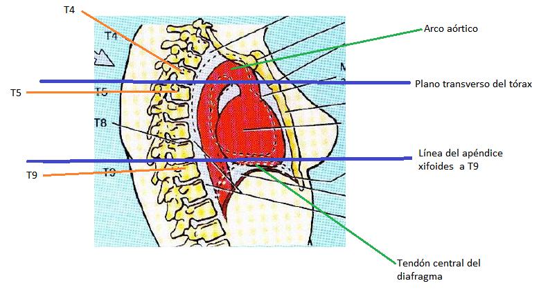 HYNoble6: Anatomía, histología y fisiología de corazón