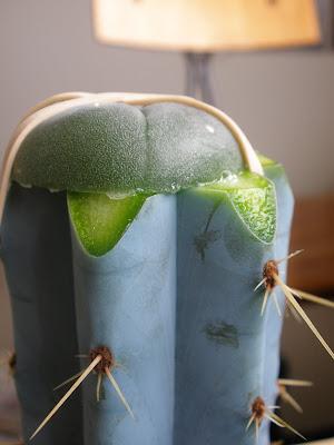 Home Entheogen Cultivation Pilosocereus Azureus Amp Peyote