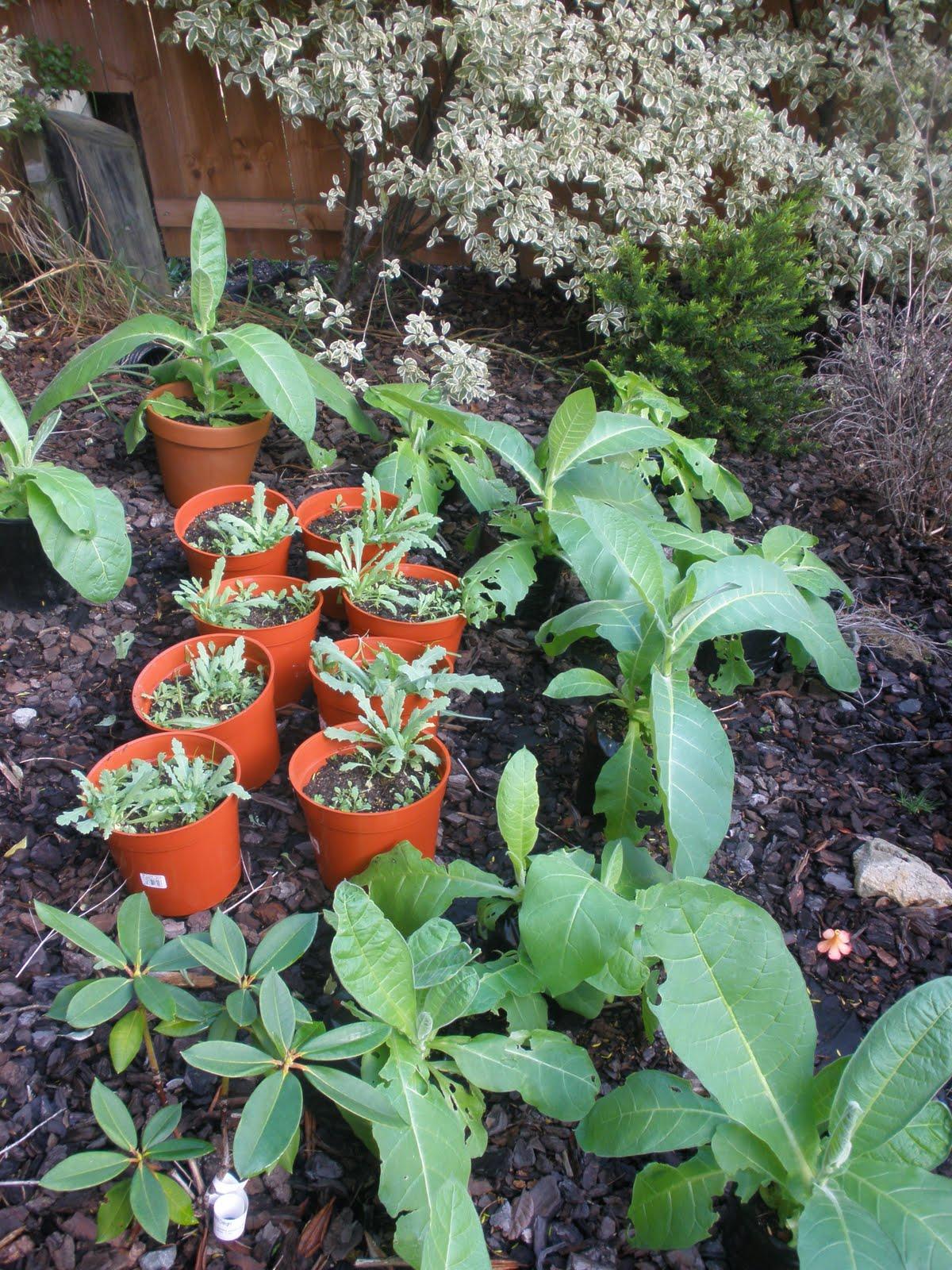 papaver somniferum seedlings - photo #28