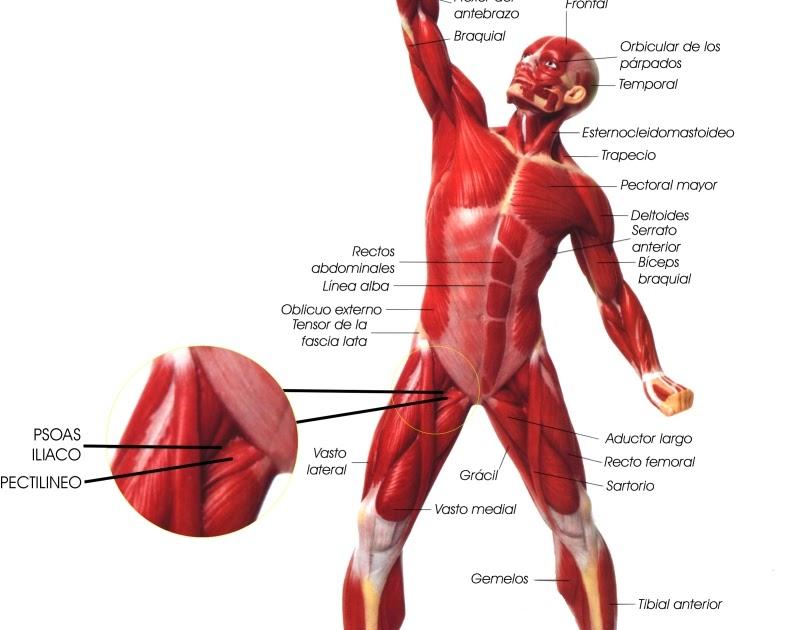 Sistema Muscular   El Cuerpo Humano