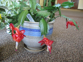 Schlumbergera May Photo