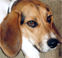 My crazy beagle - miss him so much - XOXO