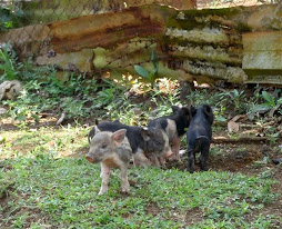 more piglets running around