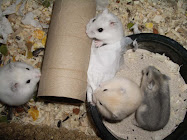 Cheshire Hamster Breeder