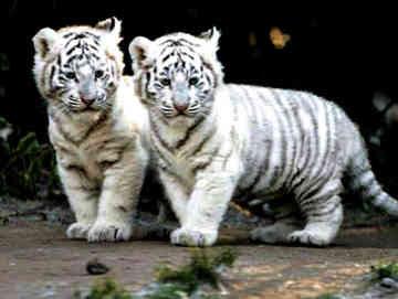 http://2.bp.blogspot.com/_HSsYqGqZBhg/SwsNZTVDghI/AAAAAAAAAf4/7Secg0JkOBc/s400/white-tiger-0001.jpg